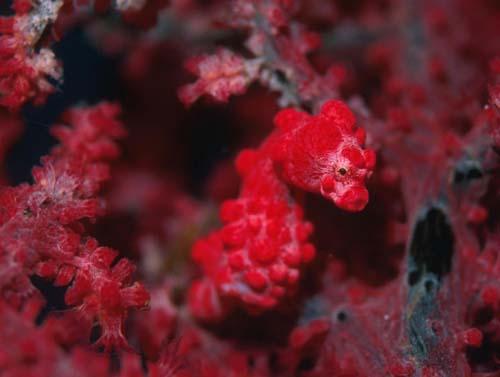 柏島に生息している生物、ピグミーシーホース